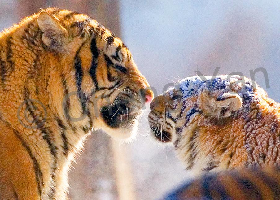 Tigers 089 Photography Art | Cheng Yan Studio