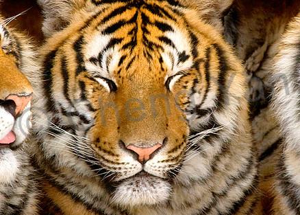 Tigers 099 Photography Art | Cheng Yan Studio