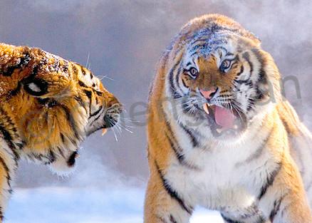 Tigers 105 Photography Art | Cheng Yan Studio