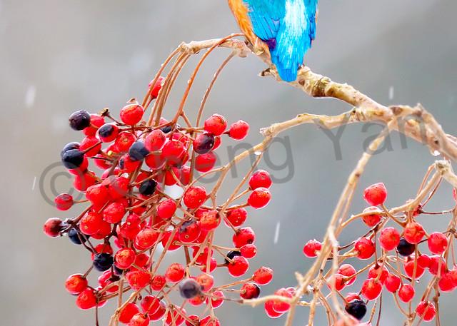 Kingfishers 012 Photography Art   Cheng Yan Studio