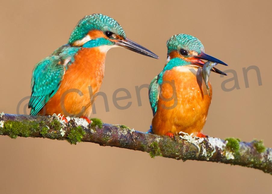 Kingfishers 048 Photography Art | Cheng Yan Studio