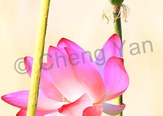Kingfishers 058 Photography Art | Cheng Yan Studio