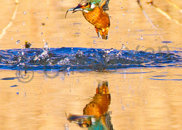 Kingfishers 053 Photography Art | Cheng Yan Studio
