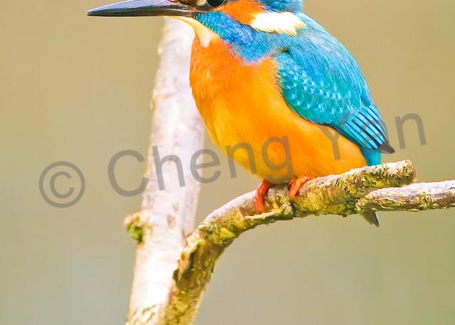Kingfishers 066 Photography Art | Cheng Yan Studio
