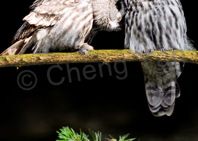 Owls 006 Photography Art | Cheng Yan Studio
