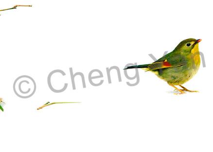Pekin Robins And Chinese Birds 001 Photography Art | Cheng Yan Studio