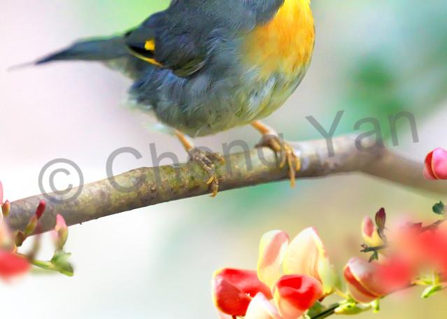Pekin Robins And Chinese Birds 002 Photography Art   Cheng Yan Studio