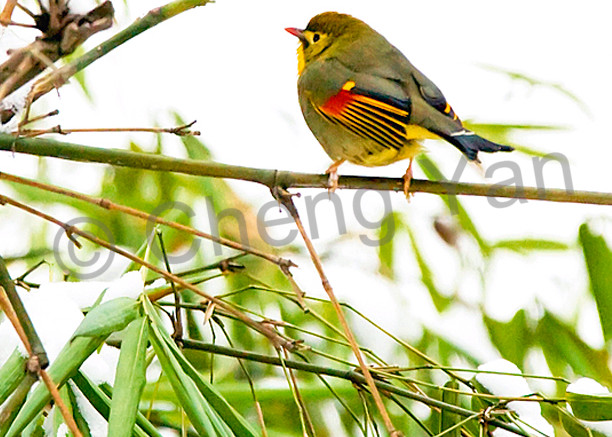 Pekin Robins And Chinese Birds 009 Photography Art   Cheng Yan Studio