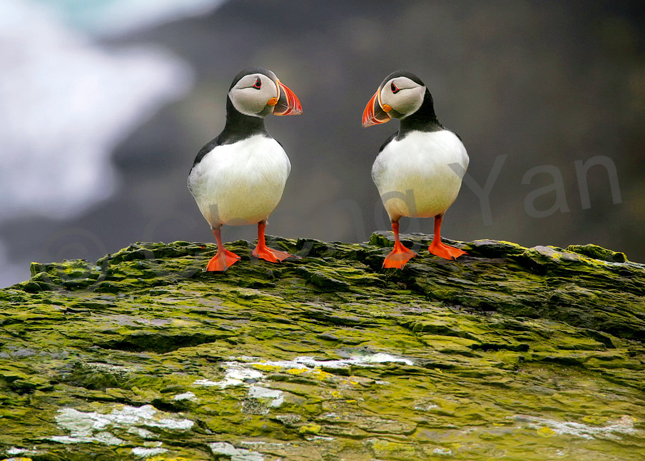 Puffins And Sea Birds 007 Photography Art | Cheng Yan Studio