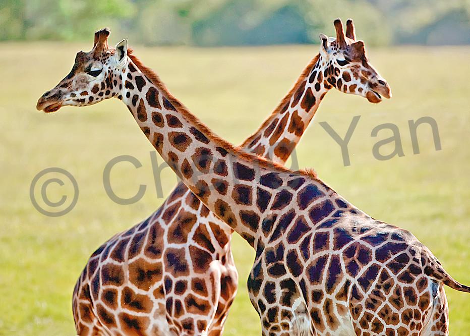 Giraffes 013 Photography Art | Cheng Yan Studio