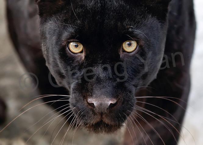 Black Panthers 002 Photography Art   Cheng Yan Studio