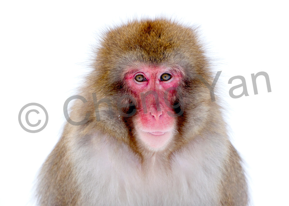 Japanese Macaques 001 Photography Art | Cheng Yan Studio
