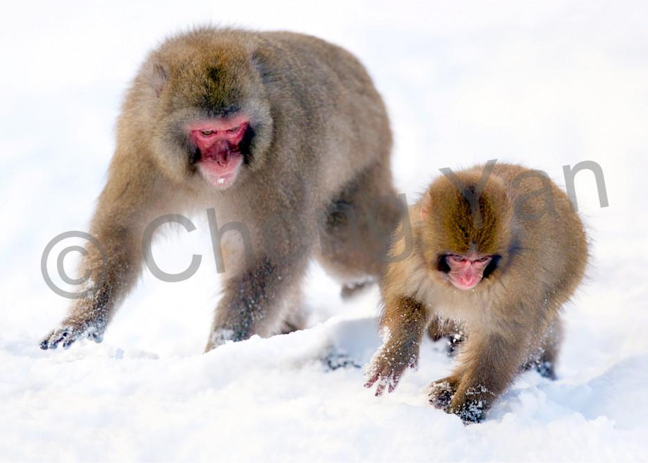 Japanese Macaques 005 Photography Art | Cheng Yan Studio