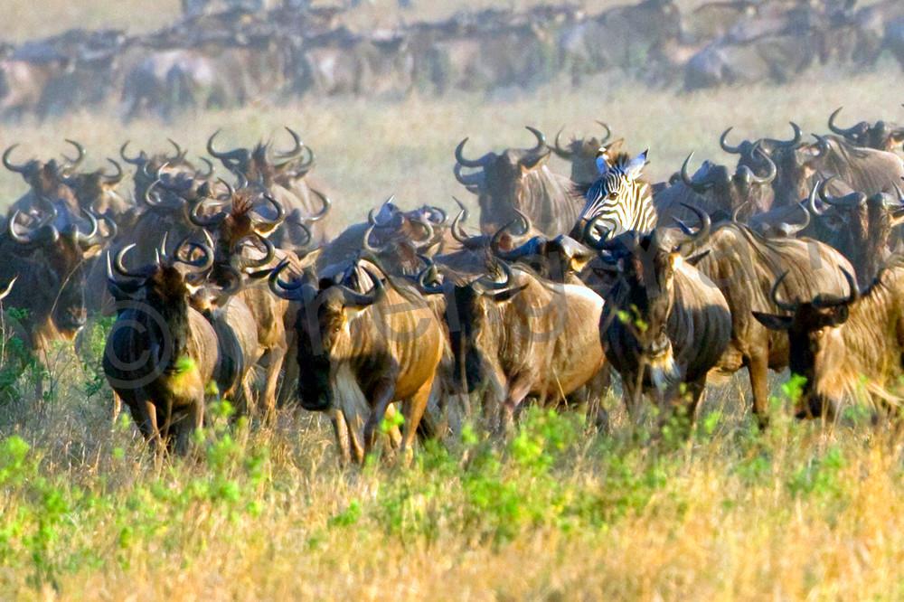 Buffalos And Wild Beasts 009 Photography Art | Cheng Yan Studio