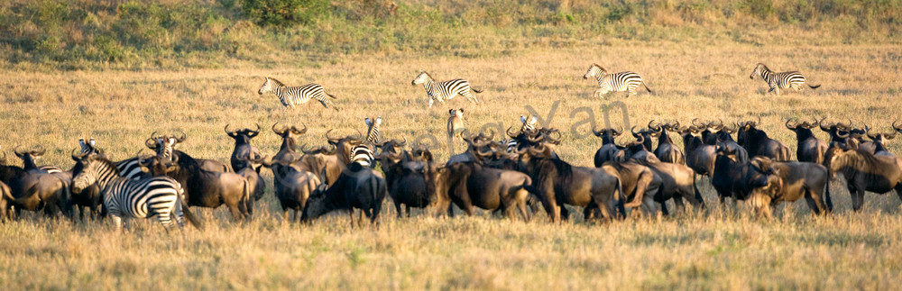 Buffalos And Wild Beasts 014 Photography Art | Cheng Yan Studio