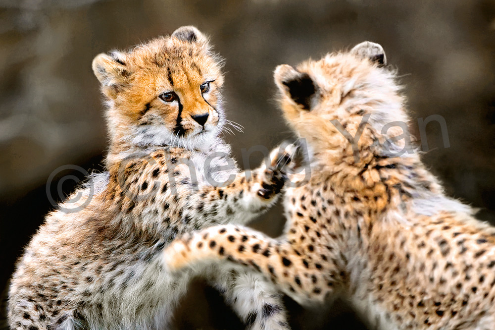 Cheetahs 002 Photography Art   Cheng Yan Studio