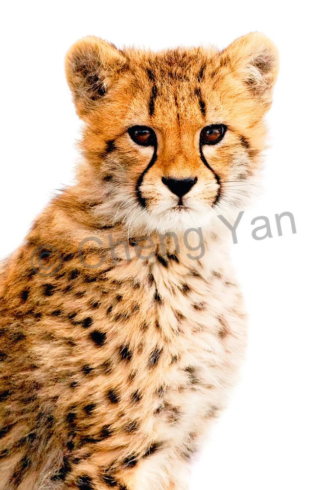 Cheetahs 006 Photography Art | Cheng Yan Studio