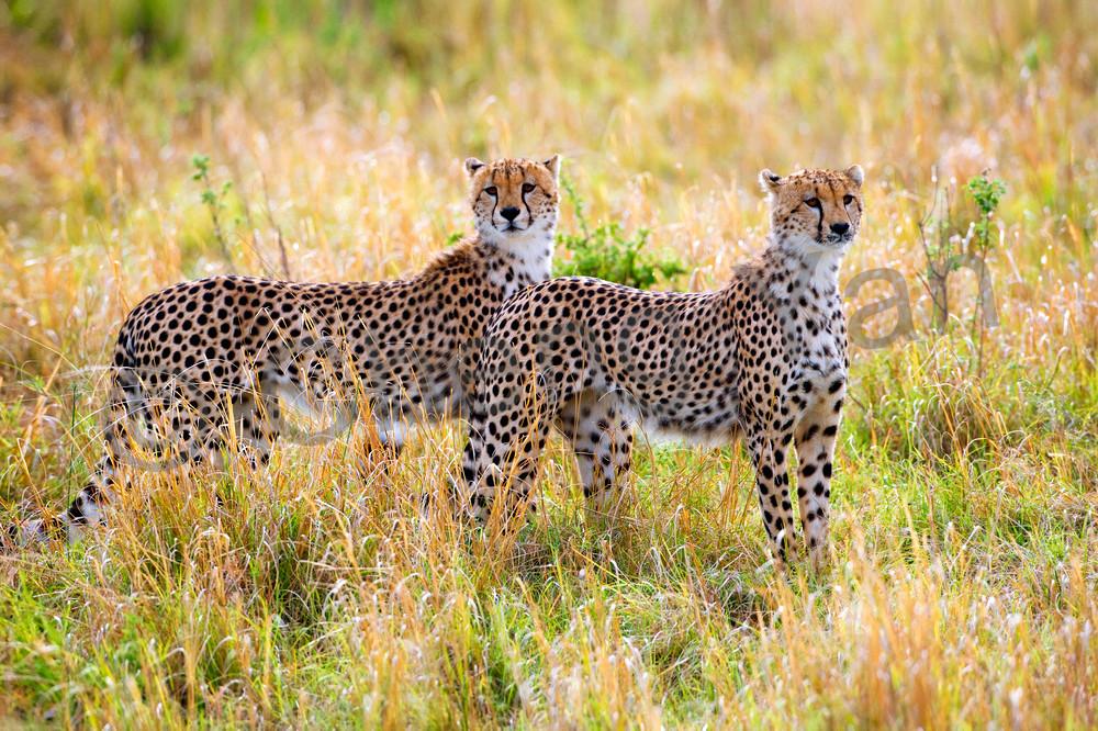 cheetahs-004