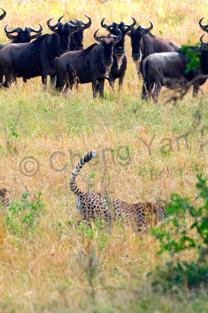 Cheetahs 010 Photography Art | Cheng Yan Studio