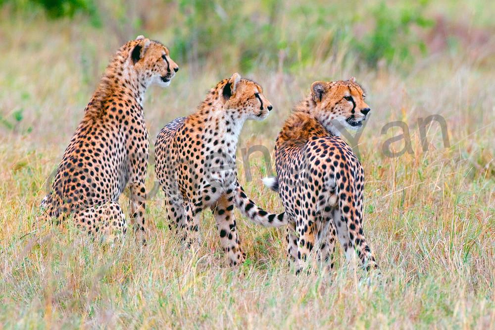 cheetahs-013