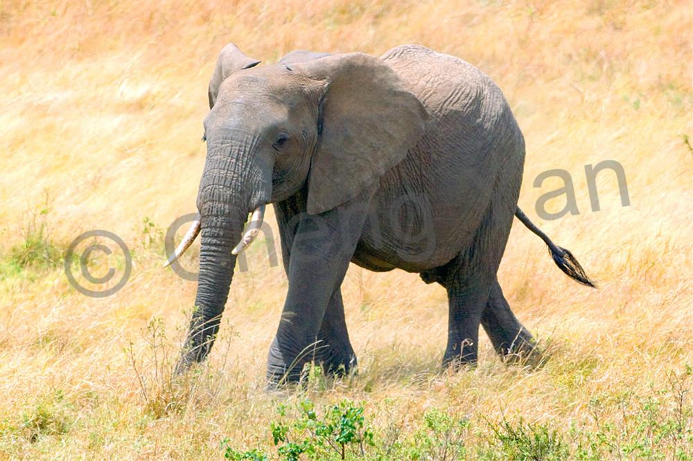 Elephants 016 Photography Art | Cheng Yan Studio