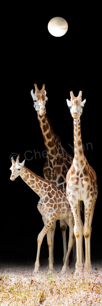 Giraffes 006 Photography Art | Cheng Yan Studio