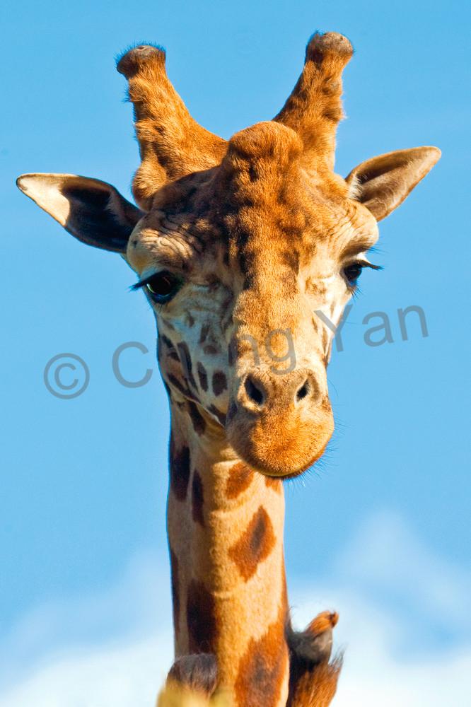 giraffes-007