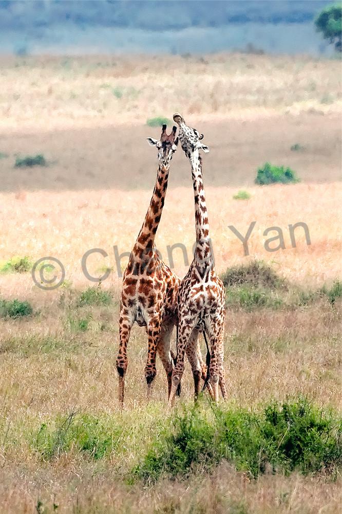 Giraffes 008 Photography Art | Cheng Yan Studio