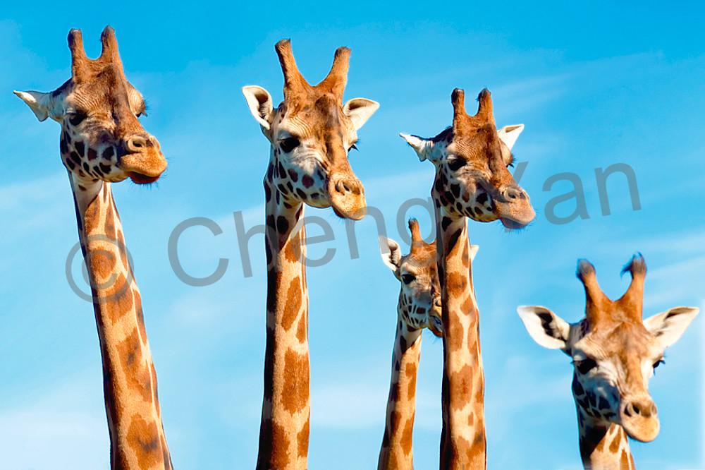Giraffes 010 Photography Art   Cheng Yan Studio