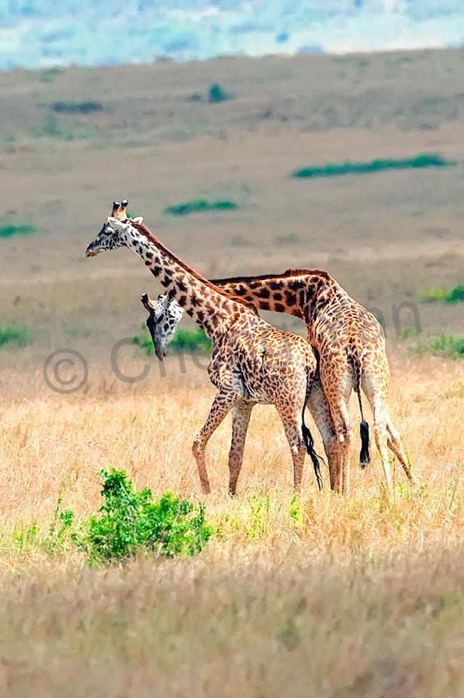 Giraffes 011 Photography Art | Cheng Yan Studio