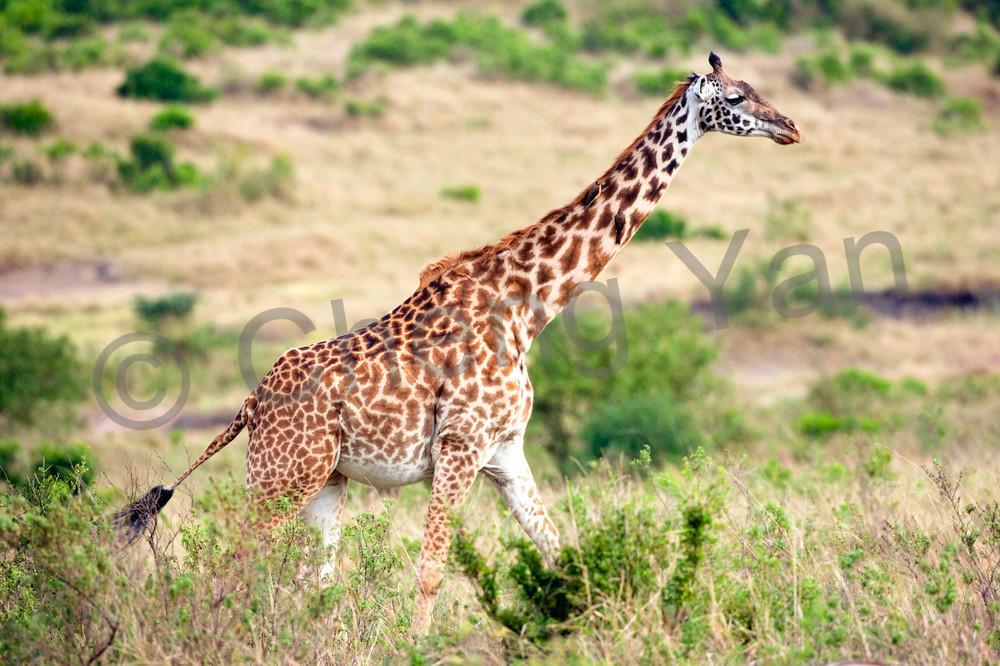 Giraffes 014 Photography Art | Cheng Yan Studio
