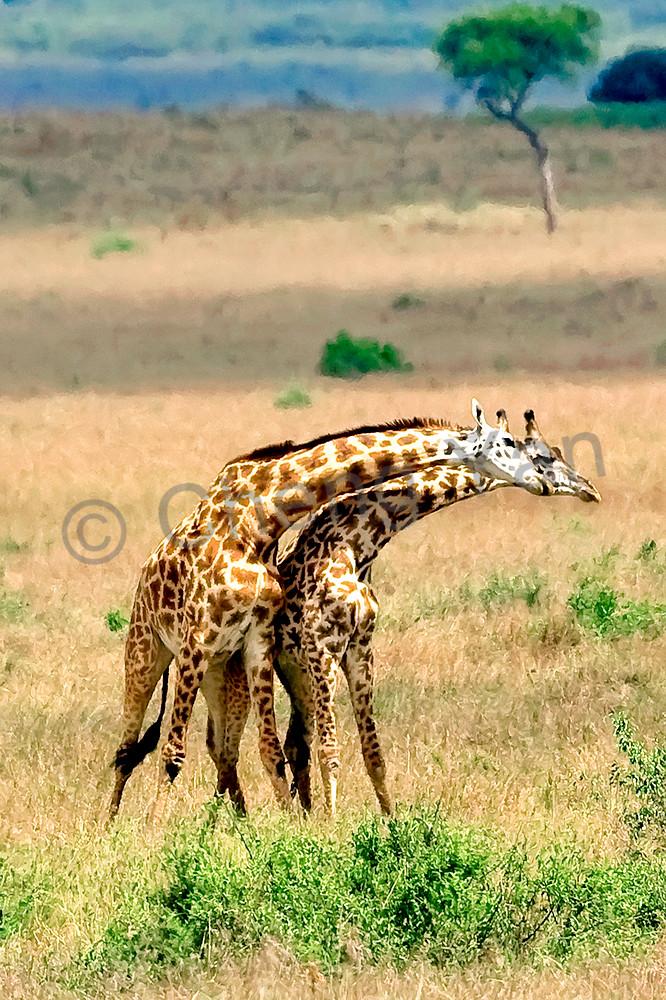 giraffes-015