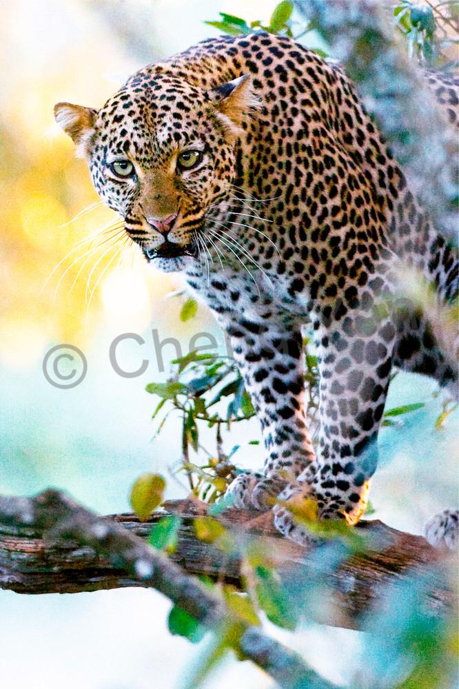 Leopards 005 Photography Art | Cheng Yan Studio
