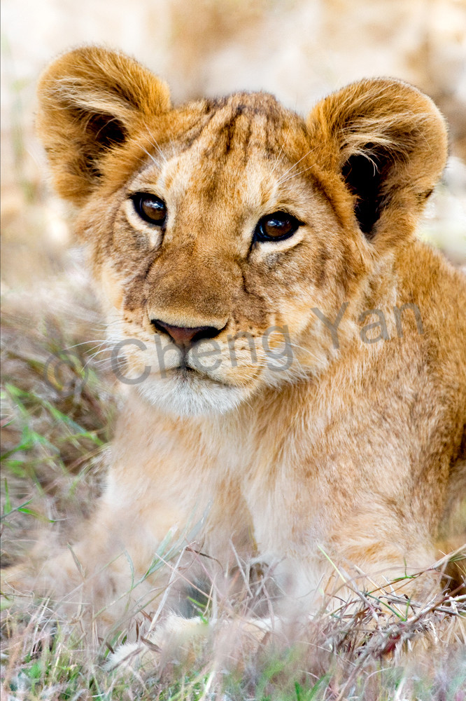 Lions 002 Photography Art | Cheng Yan Studio