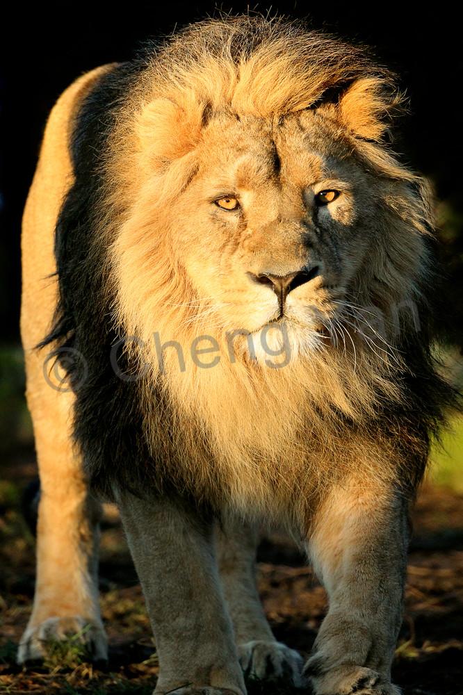 Lions 005 Photography Art | Cheng Yan Studio