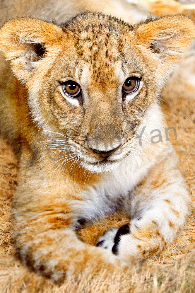 Lions 007 Photography Art   Cheng Yan Studio