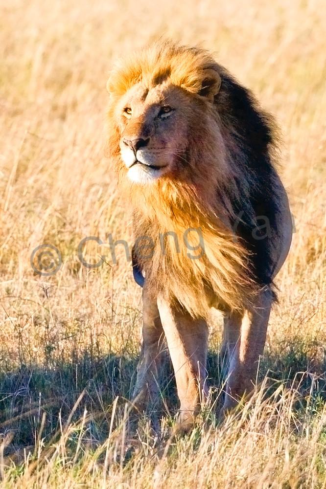 Lions 011 Photography Art | Cheng Yan Studio