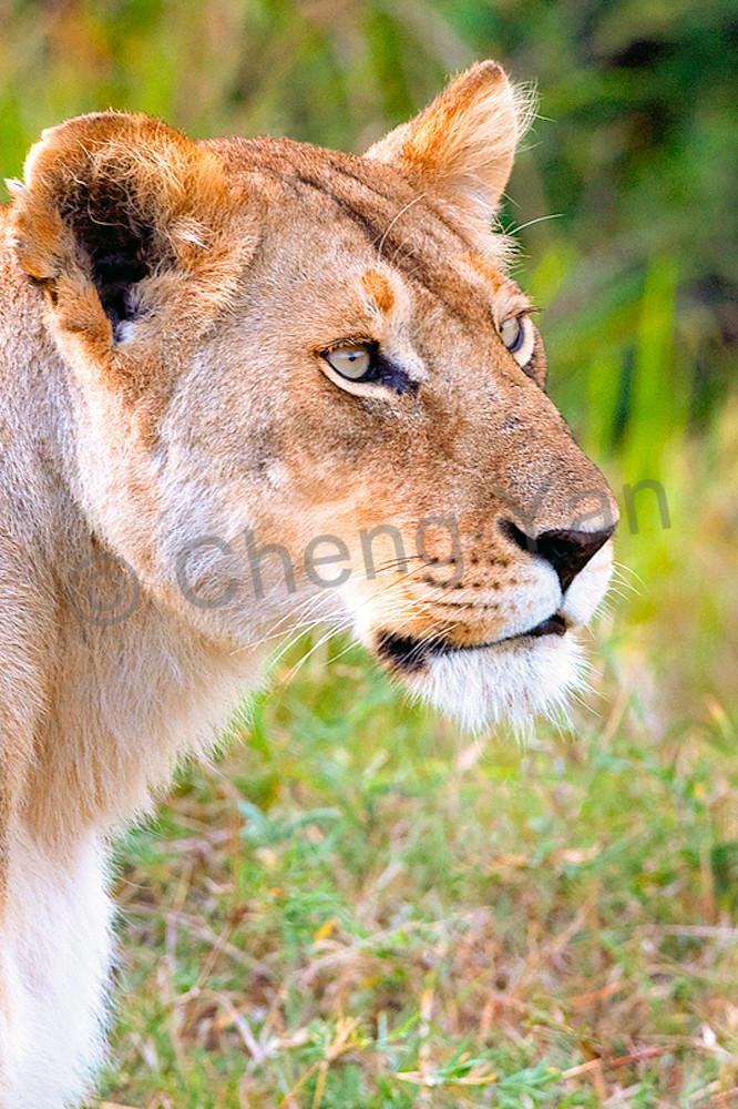 Lions 010 Photography Art | Cheng Yan Studio