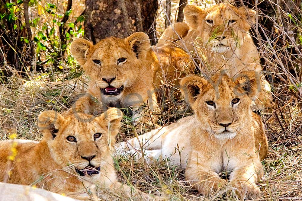 lions-014