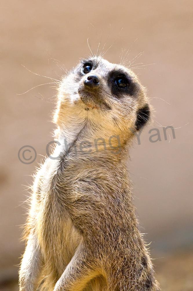 Meerkats 005 Photography Art | Cheng Yan Studio