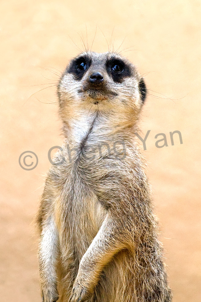 Meerkats 008 Photography Art | Cheng Yan Studio