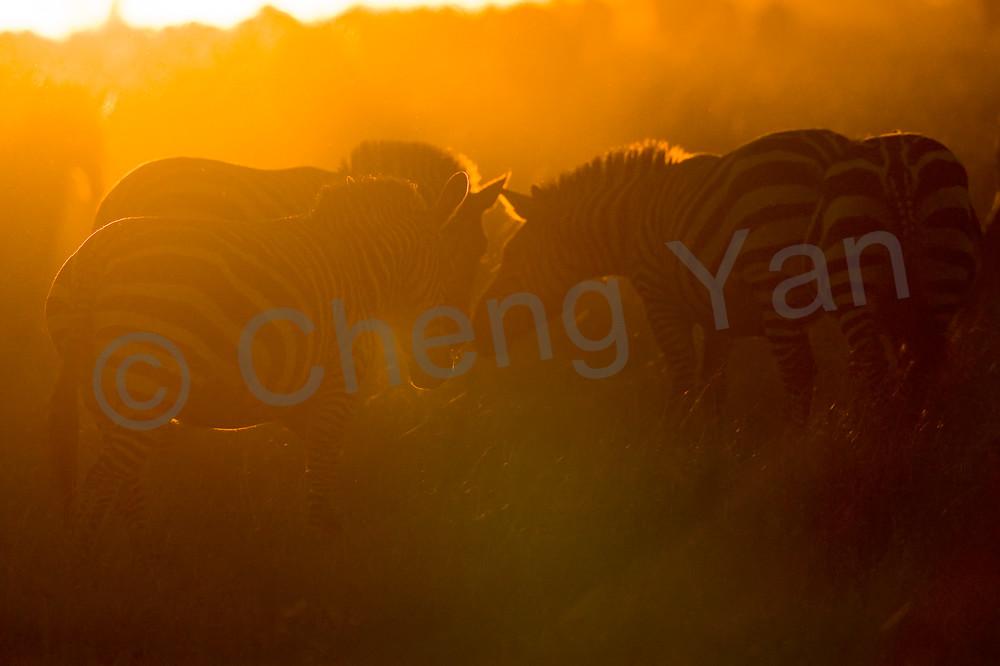 Zebras 006 Photography Art | Cheng Yan Studio