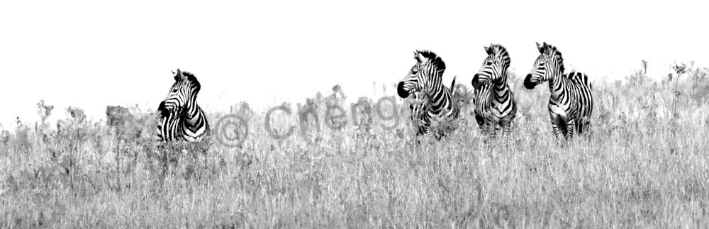 Zebras 012 Photography Art | Cheng Yan Studio