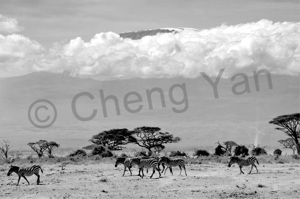 Zebras 013 Photography Art | Cheng Yan Studio
