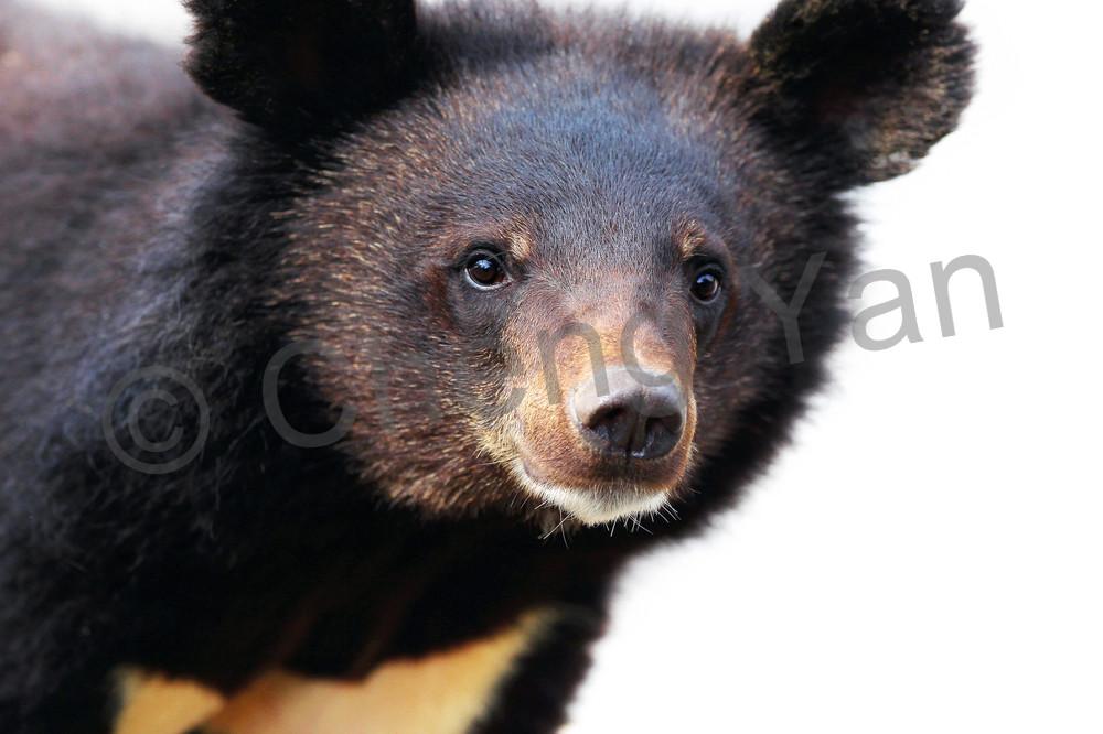 Bears 003 Photography Art | Cheng Yan Studio