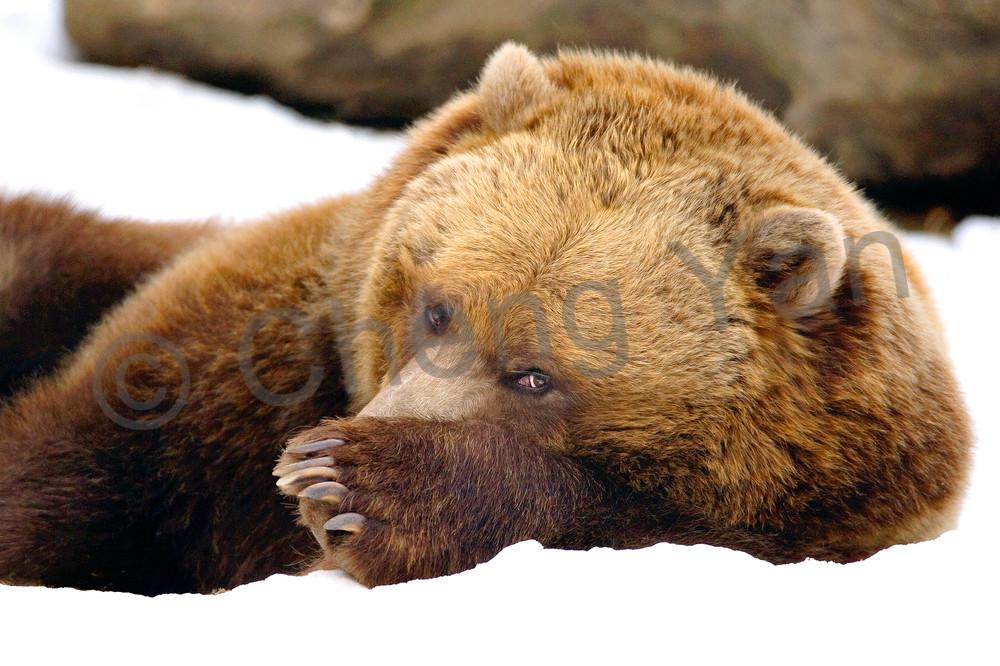 Bears 001 Photography Art | Cheng Yan Studio