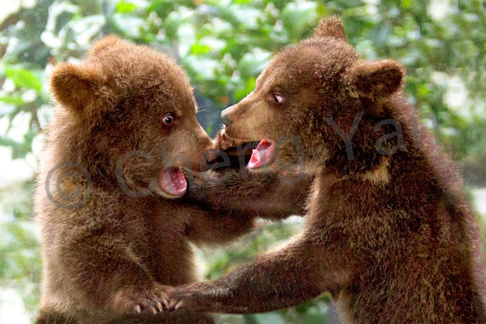 bears-002
