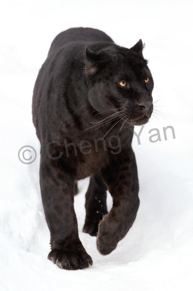 Black Panthers 004 Photography Art | Cheng Yan Studio