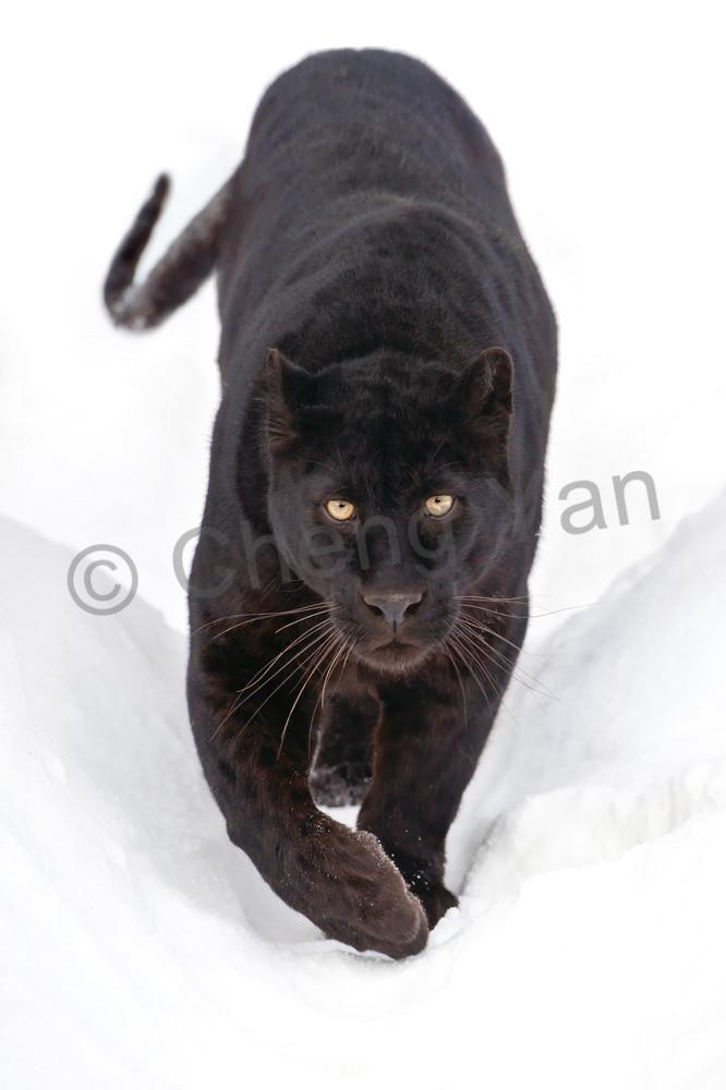 Black Panthers 003 Photography Art   Cheng Yan Studio