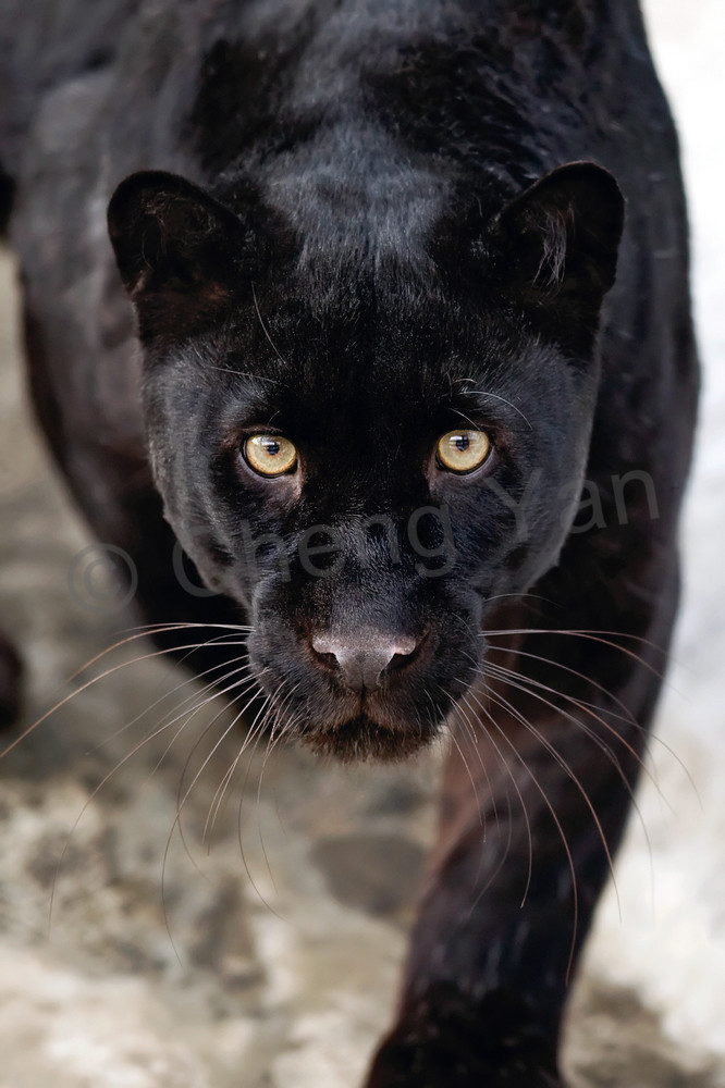 Black Panthers 002 Photography Art | Cheng Yan Studio